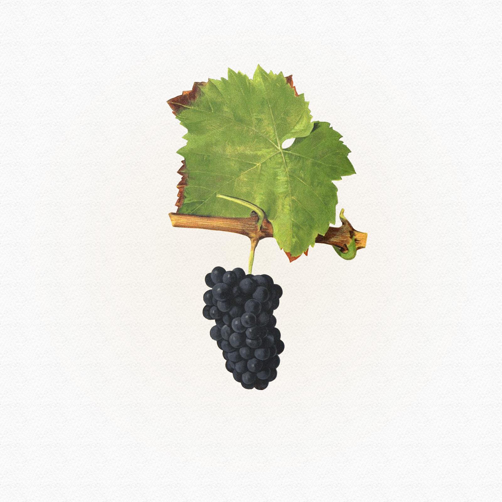 Jeantet Laurent - Pinot Noir