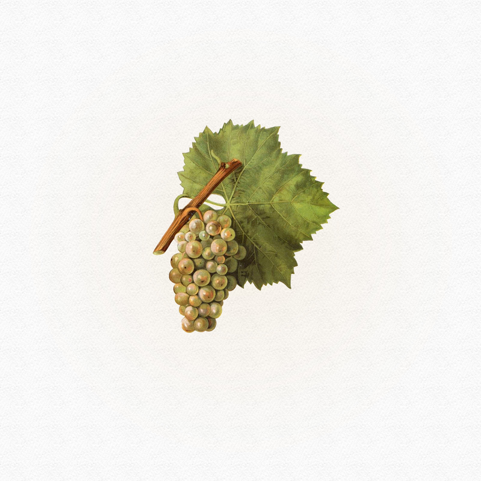 Jeantet Laurent - Pinot Blanc